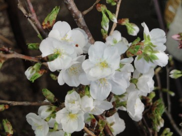 Spring Brings Cherry Blossoms!!