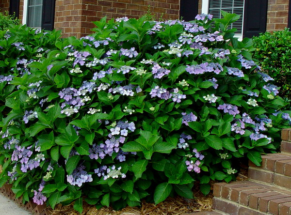 The lace cap hydrangea adds unique blooms to your garden.
