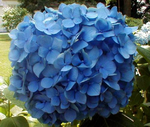 Beautiful blue mophead hydrangea