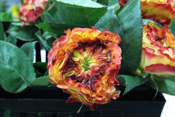 """""""Fuego"""" Garden Rose"""