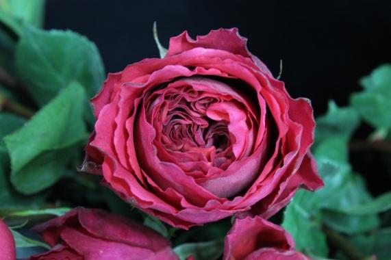 Deep Pink Garden Rose